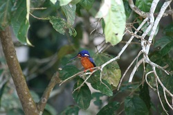 Borneo Blue bird
