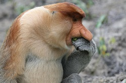 Borneo Probiscus monkey eating