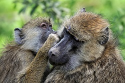 Africa Olive baboon