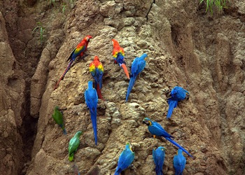 ParrotsTambopata National Reserve350px