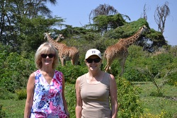 Africa Giraffes Walking